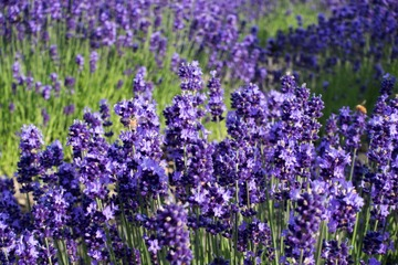 hokkaido-lavender-12.jpg